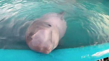 Jonge witte dolfijn van de dood gered, maar Tyonek leeft nu in gevangenschap