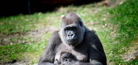 Dit is de naam van het eerste gorillajong in tien jaar van dierenpark Apenheul in Apeldoorn