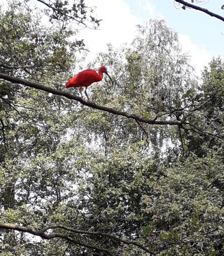 Rode ibis duikt opnieuw op: ditmaal langs de Regge in Nijverdal