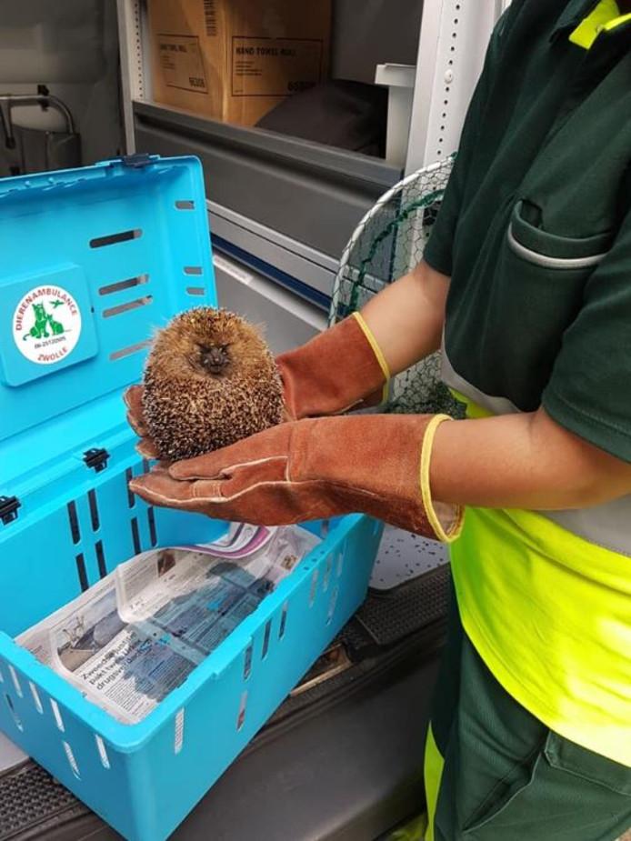 De Dierenambulancechauffeur wist met wat vernuft de egel van het meerkoetennest te redden.