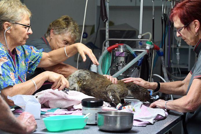 In het Port Macquarie Koala Hospital komen veel koala's met brandwonden binnen.