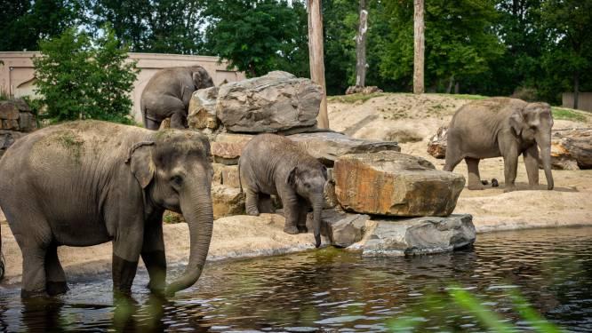 Zoo Antwerpen en Planckendael willen uitbraak olifantenherpes beter kunnen voorspellen