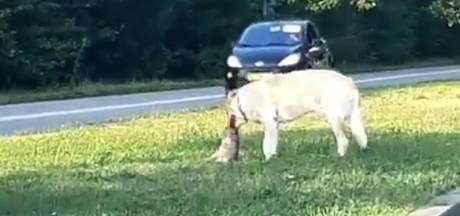 Loslopende hond verscheurt konijntje in middenberm van drukke weg in Oss