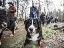 Waar je ook kijkt, overal Berner Sennenhonden op het Hulsbeek in Oldenzaal
