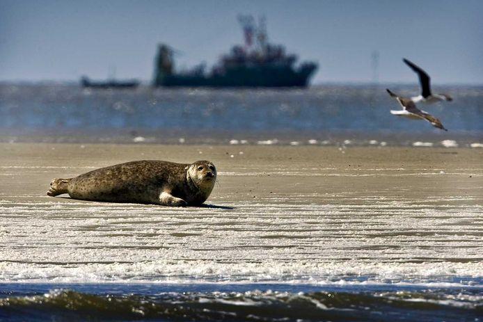 Een zeehond aan de Waddenzee.