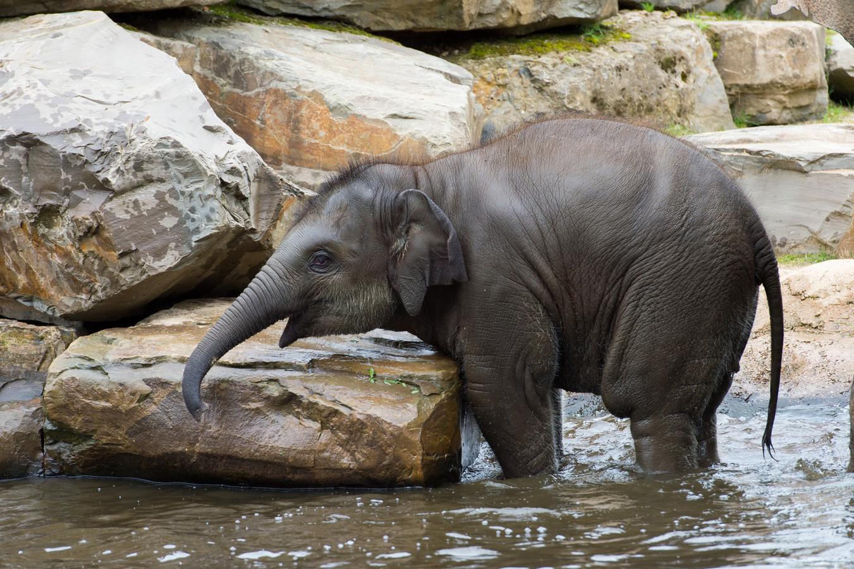 De eerste stapjes van olifant Qiyo, kort na haar geboorte in 2015.