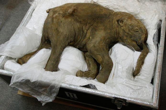 Een goed bewaarde babymammoet, Lyuba, tentoongesteld in Hong Kong in 2012.