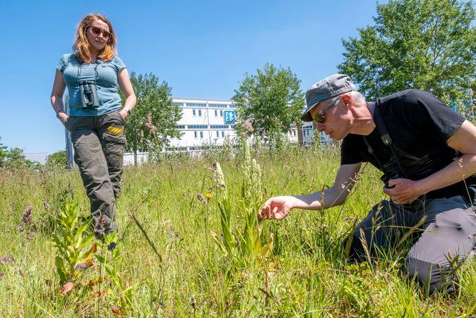 Floor Arts van Delta Milieu Projecten wijst tijdens een excursie vlak bij het PZC-kantoor op de daar in bloei komende zeldzame bokkenorchis. Links zijn collega Wendy Janse.
