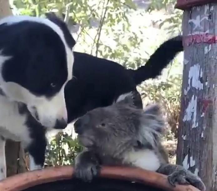 Le chien et le koala se sont désaltérés dans le même abreuvoir sous l'oeil d'une Australienne qui a filmé la scène.