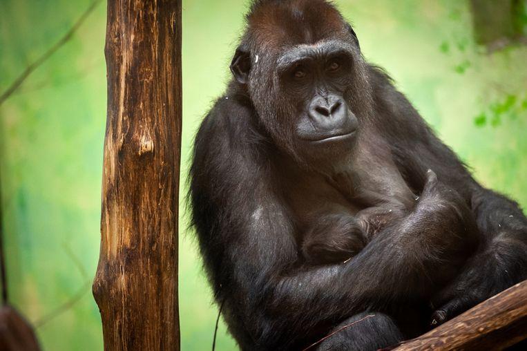 Geweldig nieuws uit de nieuwe Mensapenvallei in ZOO Antwerpen: gisteren is vrouwtjesgorilla Mayani bevallen van een gezonde baby! Beeld Zoo Antwerpen