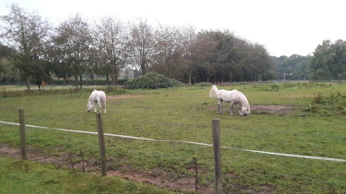 Het paard liep temidden van deze pony's in het weiland aan de Duivensteeg in Amersfoort.