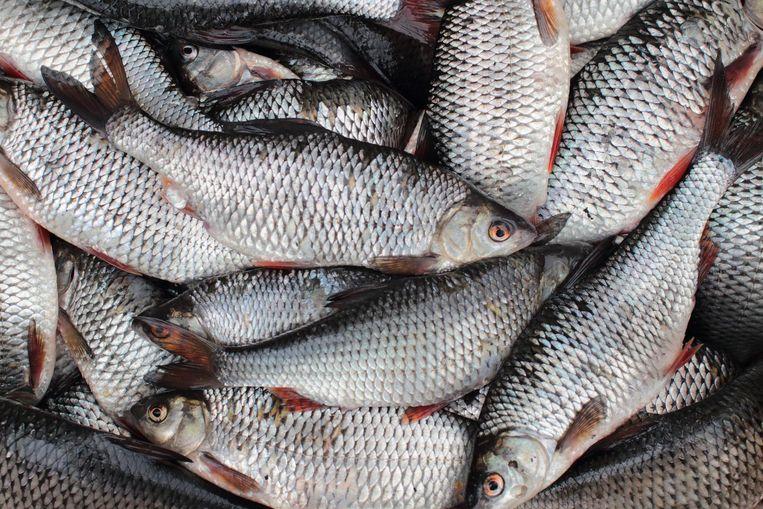 Een vangst voorns, een zoetwatervis. Beeld Thinkstock