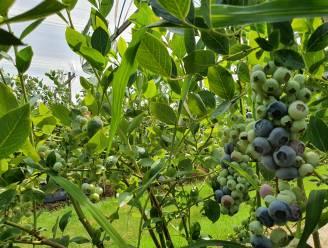 Fruittelers en Toerisme Hoogstraten slaan handen in elkaar voor 'de bloesemroute'