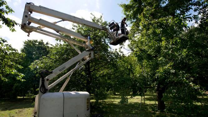 625-jarig Buren krijgt er 625 hoogstamfruitbomen bij, zoals de Betuwse Kwets