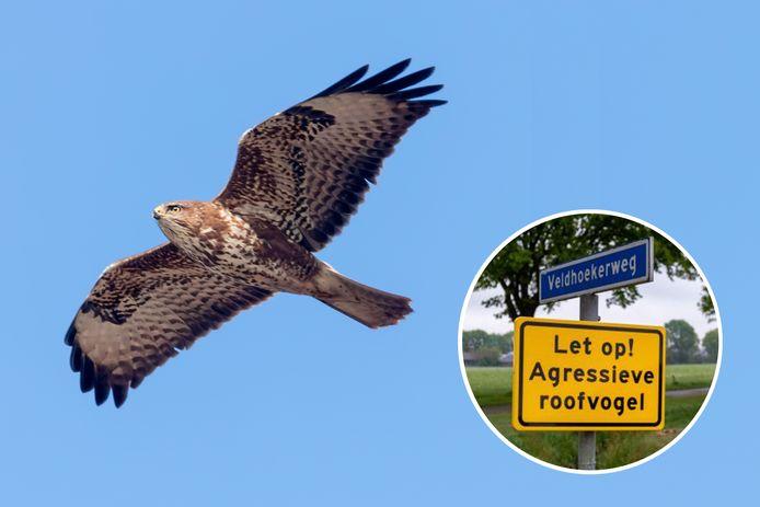 Stockfoto van een vliegende buizerd met foto van waarschuwingsbord. Met het bord wil de gemeente Raalte voorbijgangers alert maken op de broedende buizerds.