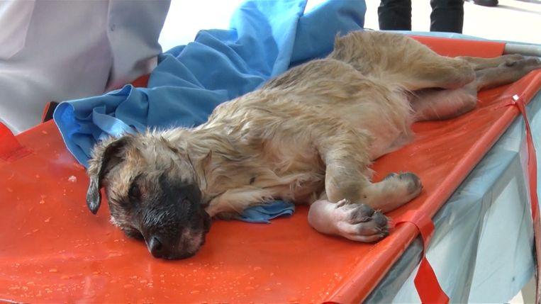 De hond was er slecht aan toe, maar volgens dokters zal hij volledig herstellen.