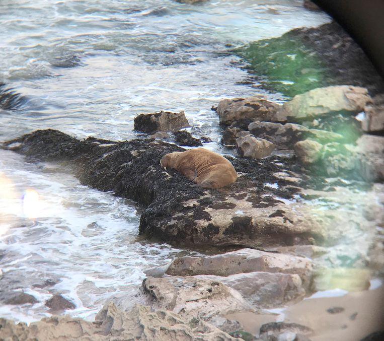 Walrus Wally voor de kust van Zuid-Wales.  Beeld via REUTERS