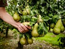 Boerschappen uit Breda koopt 25.000 kilo 'onverkoopbare' peren uit Wemeldinge