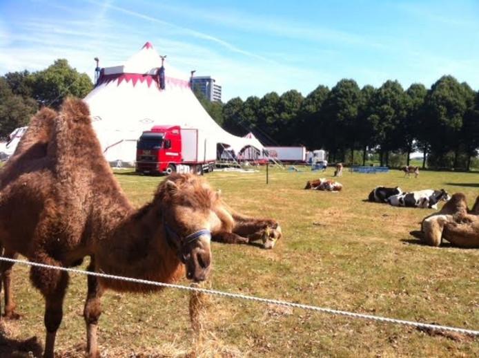 Voor circus Louis Knie staan onder meer kamelen op de Pettelaarse Schans.