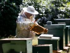 Veel te veel honingbijen in de Biesbosch: 'Ze ontwrichten het ecosysteem'