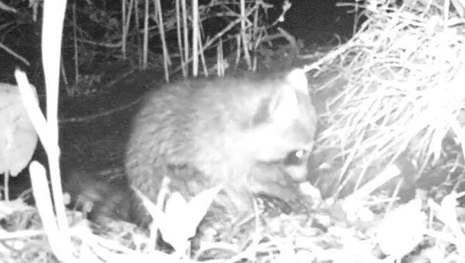 De Wasbeer trekt zich niets aan van de camera