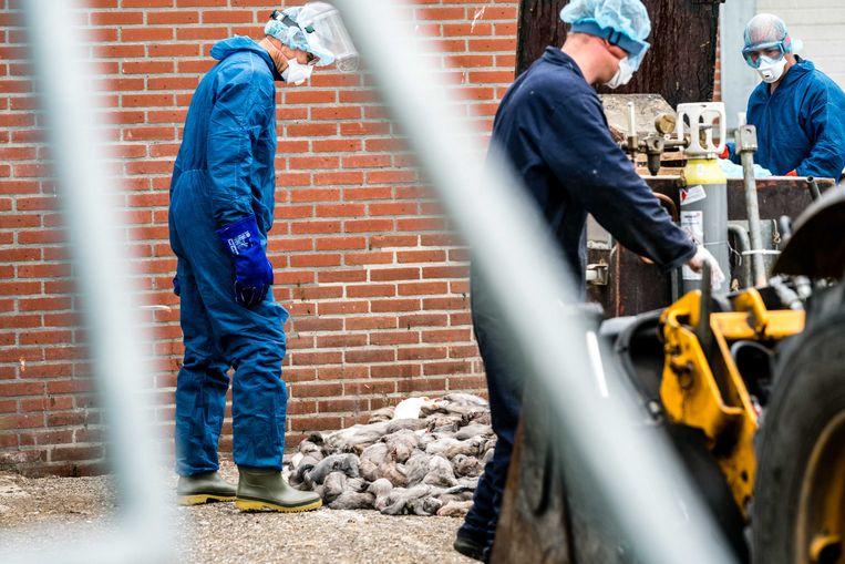 Medewerkers van de Nederlandse voedselautoriteit zijn bezig met het ruimen van nertsen op een met het coronavirus besmette nertsenfokkerij.  Beeld ANP