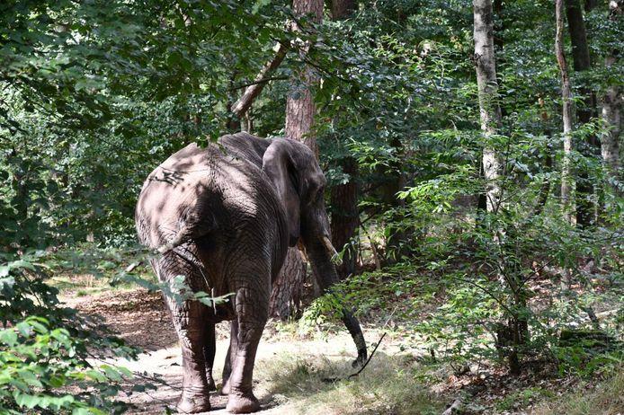 Circusolifant Buba laat zijn achterste zien aan de wandelaars in het bos bij Ommen.