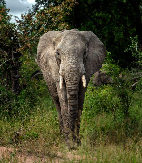 Kudde olifanten trapt stroper dood in Zuid-Afrika