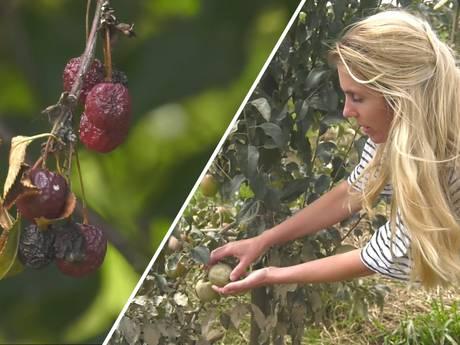 Limburgse fruitteler: 'Redden wat er te redden valt!'