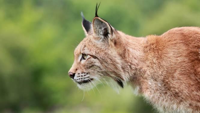 Man grijpt lynx vast die zijn vrouw aanvalt en gooit hem dan op het gras
