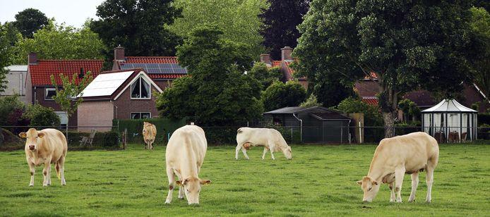 De koeien die achter de tuin van Daan Kosten lopen en van Harrie van den Boer zijn.