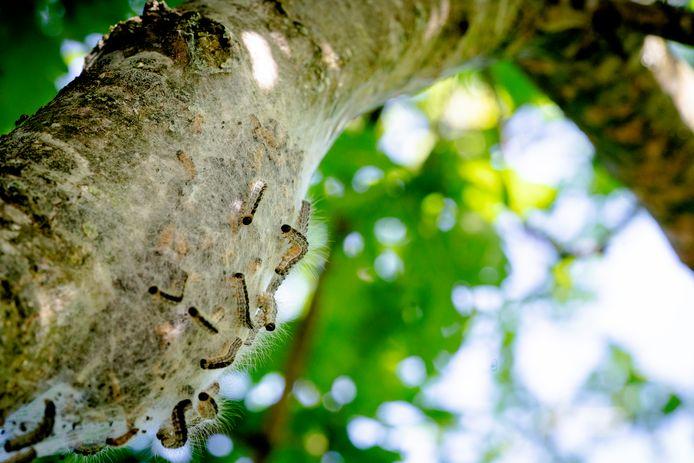 Een nest van de eikenprocessierups. De eerste eikenprocessierupsen krijgen rond deze tijd brandharen en die kunnen bij mensen die ermee in contact komen voor ernstige klachten zorgen.