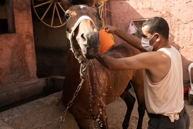 Een koetsier wast zijn paard in de stallen van Marrakech voor hij het voor zijn koets zal spannen. Beeld César Dezfuli