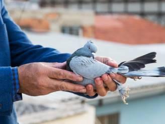 Deze duif vloog dagelijks gevangenis binnen. Tot politie ontdekte waarom
