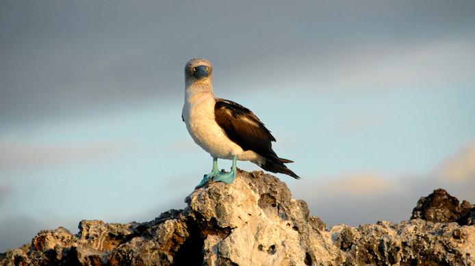 Wat nou? lijkt deze blauwvoetgent te denken. De vogel staart naar de fotograaf vanaf een rots op de Galapagos Eilanden.