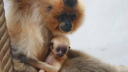 Pairi Daiza heeft slecht nieuws: babygibbon ligt dood in kooi