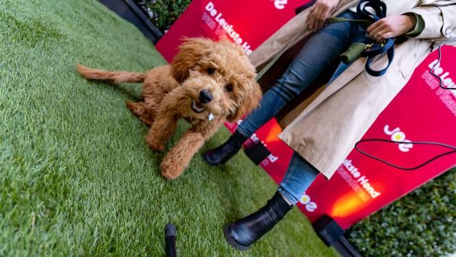 Schattigste hond van Vlaanderen blaft plat Antwerps: maak kennis met Marcel