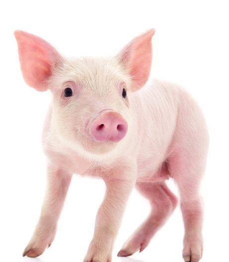 Bruce voor varkens