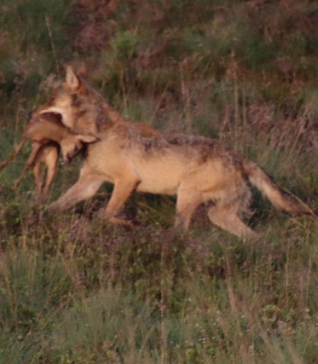 Niets is voor de wolf vernederender dan doodgeknuffeld te worden door zijn aartsvijand, de mens