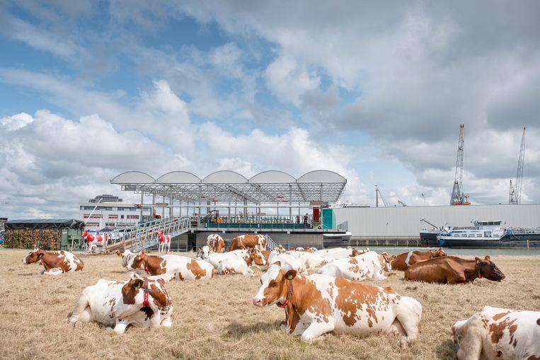 Koeien in het weiland bij de transparante, drijvende boerderij Floating Farm in Rotterdam. Beeld Hollandse Hoogte / Paulien van de Loo