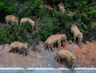 Ontsnapte olifanten laten spoor van vernieling achter in China: al bijna miljoen euro schade op tocht van 500 km