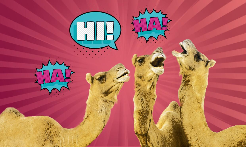 bulderlacht jaaroverzicht kamelen Beeld Humo