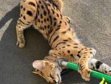 Ontsnapte serval trekt bekijks in Capelle aan den IJssel