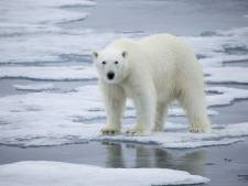 Les ours polaires pourraient disparaître d'ici 2100 selon une étude