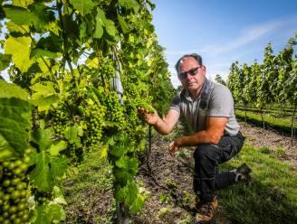 """Wijnhuis Mérula verwacht 5 procent minder druiven door overvloedige regenval: """"Schade blijft bij ons gelukkig beperkt"""""""