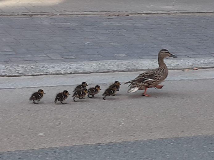 Een eend op pad met haar kleintjes door de Wachtebeekse Stationstraat.