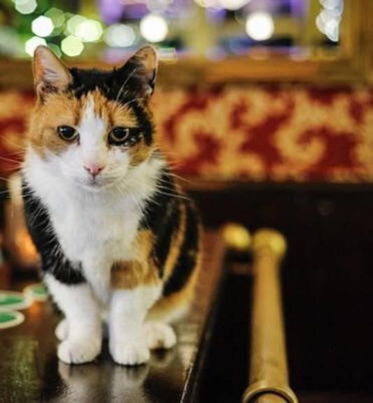 Het opvallend kleine poesje Poekie op haar favoriete bar.