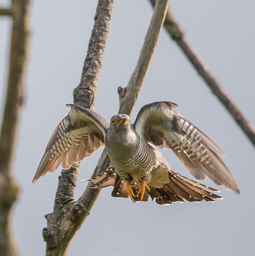 De koekoek die de Osse natuur- en vogelfotograaf Willie de Vries fotografeerde aan het Ossermeer.