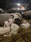 De pasgeboren lammetjes in de Edese schaapskooi op de Ginkelse Heide.