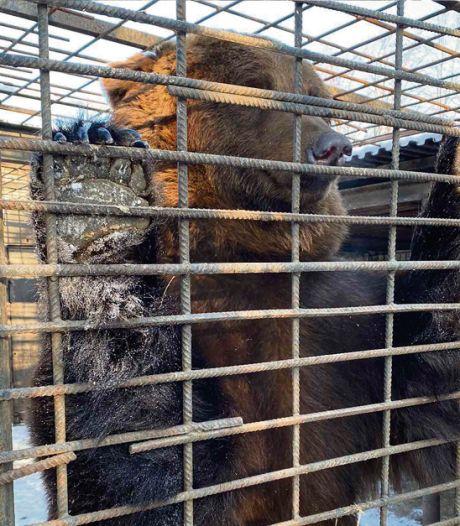 Ouwehands Dierenpark wil verwaarloosde bruine beren uit Oekraïense speeltuin redden